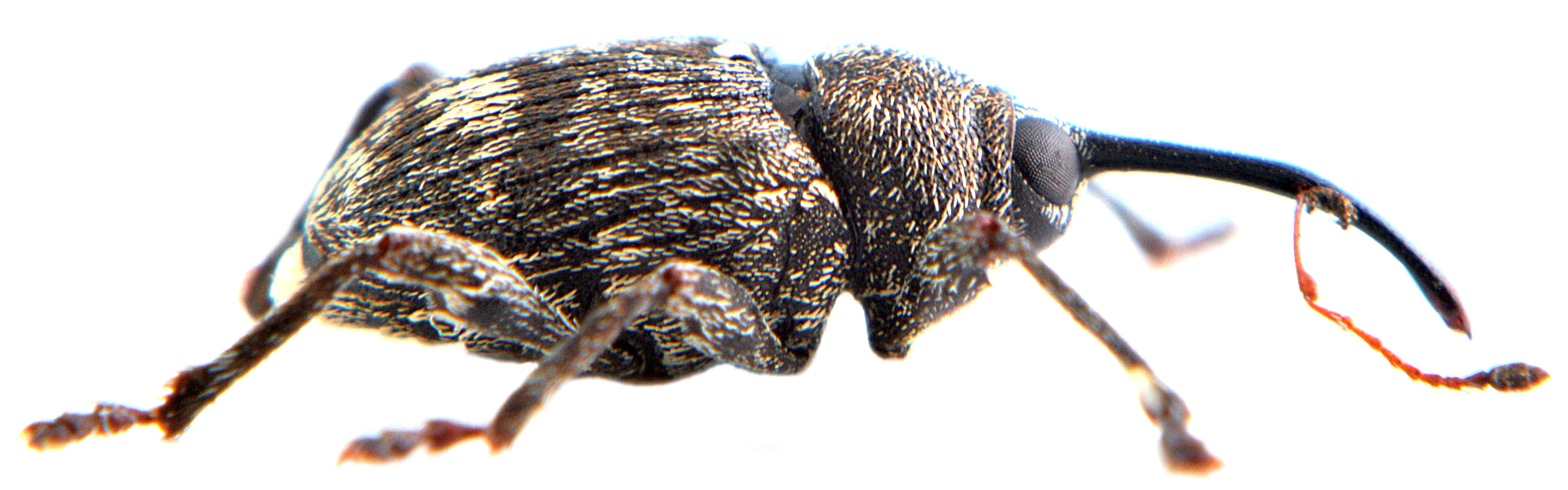 Curculio villosus 4