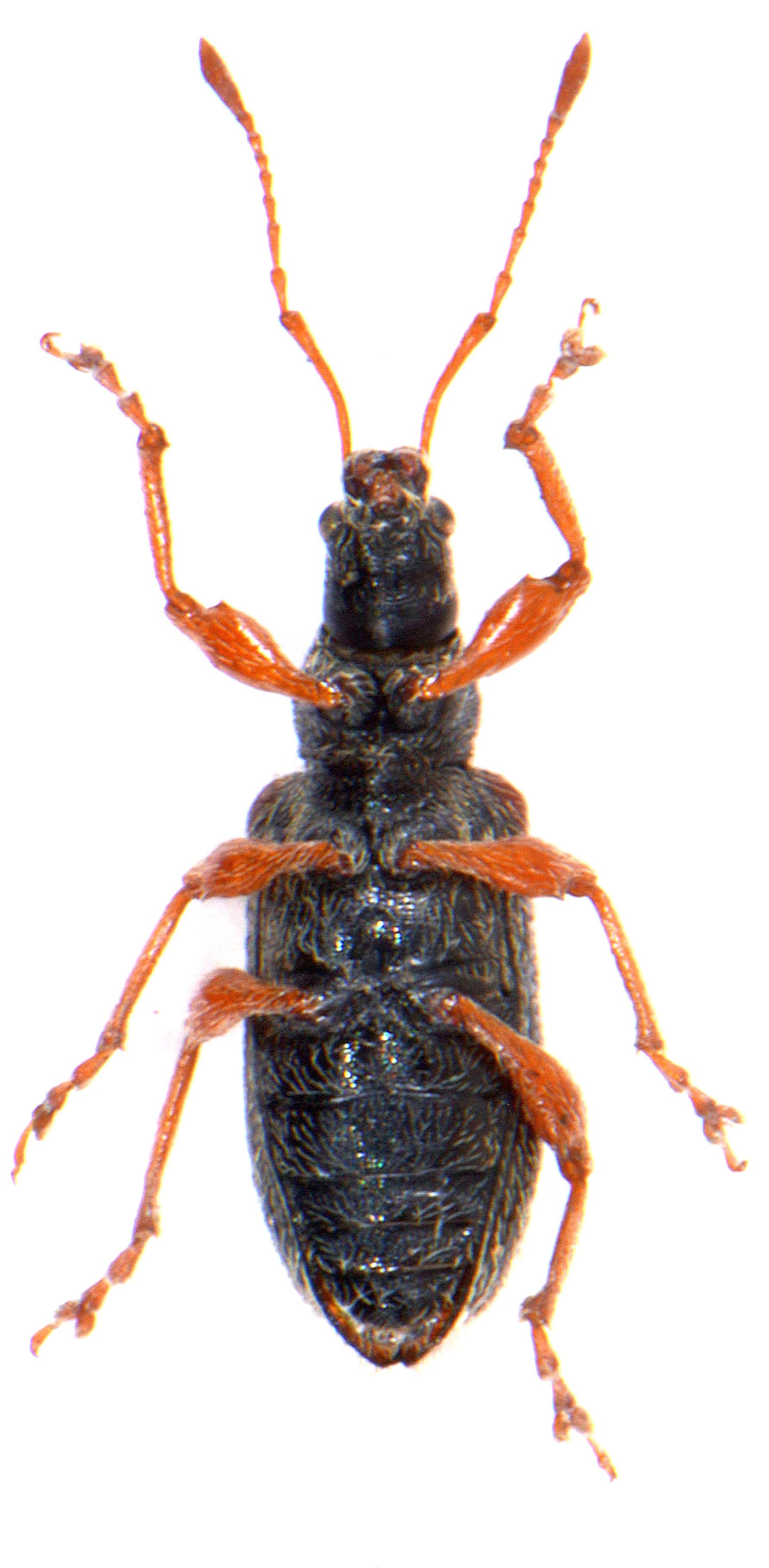 Phyllobius oblongus 3