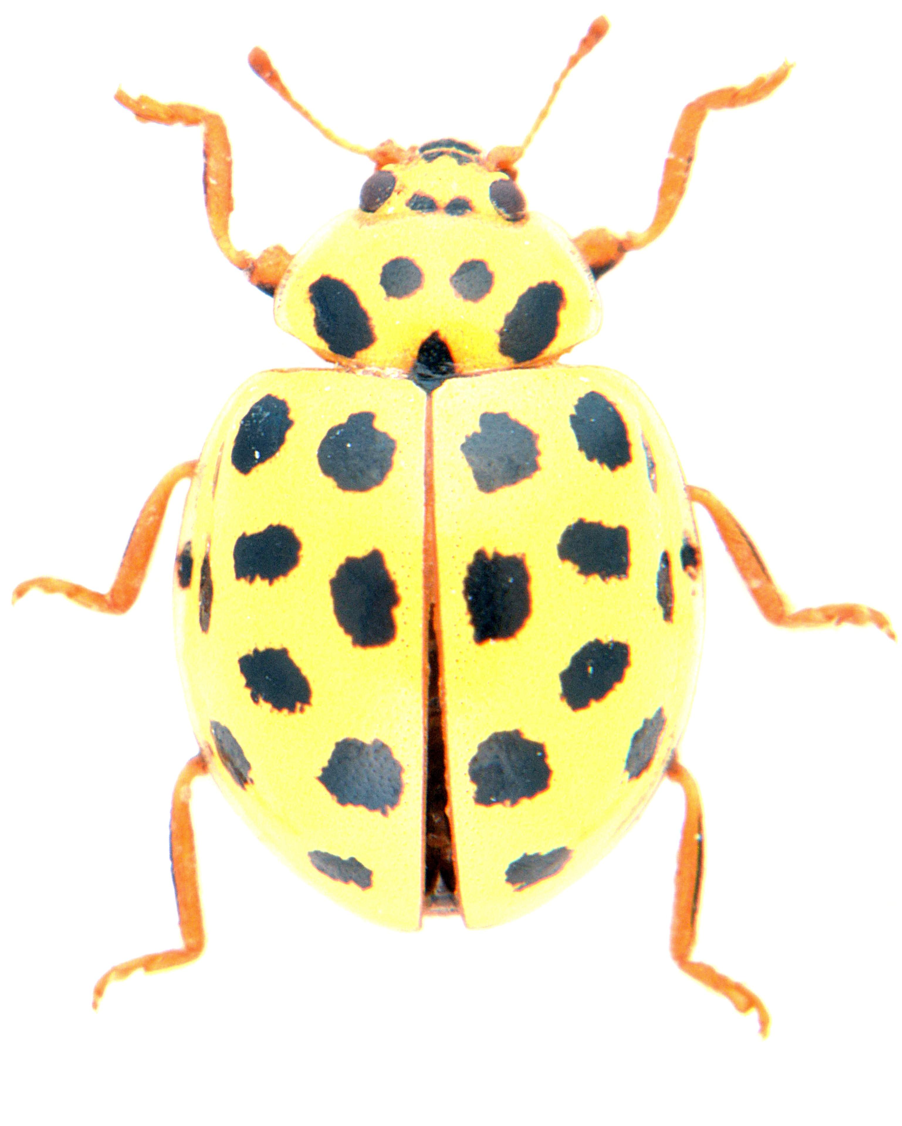 Psyllobora vigintiduopunctata 1