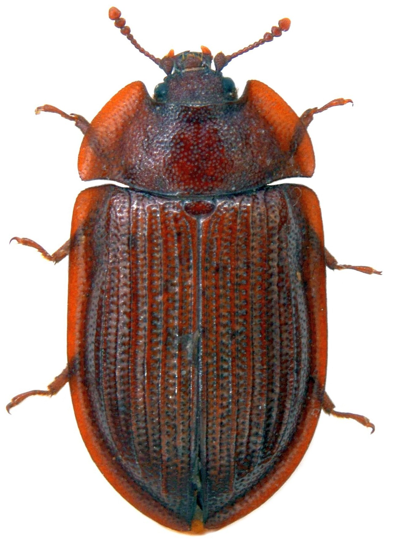 Ostoma ferrugineum