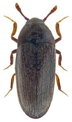 Aulonothroscus brevicollis 2