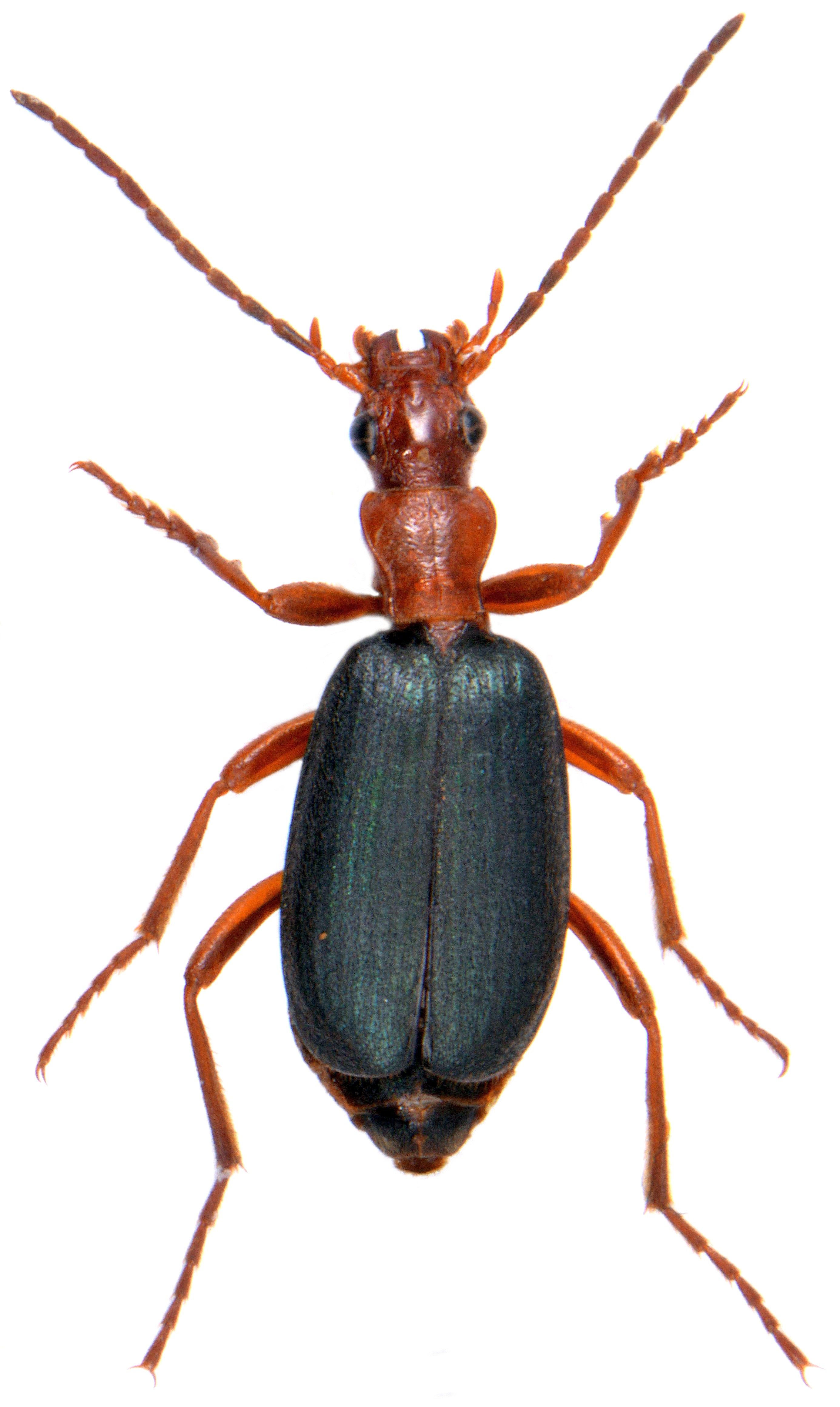 Brachinus crepitans 4