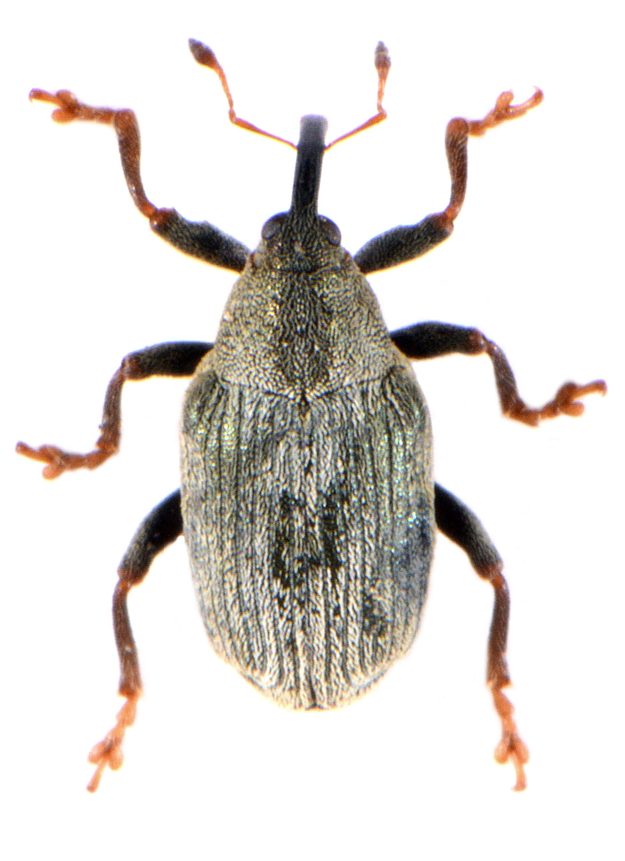 Drupenatus nasturtii 2
