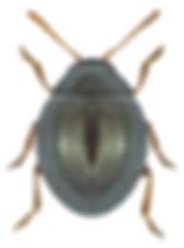 Mniophila muscorum.jpg