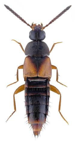 Nehemitropia lividipennis 1