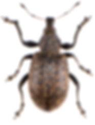 Liophloeus tessulatus 2.jpg