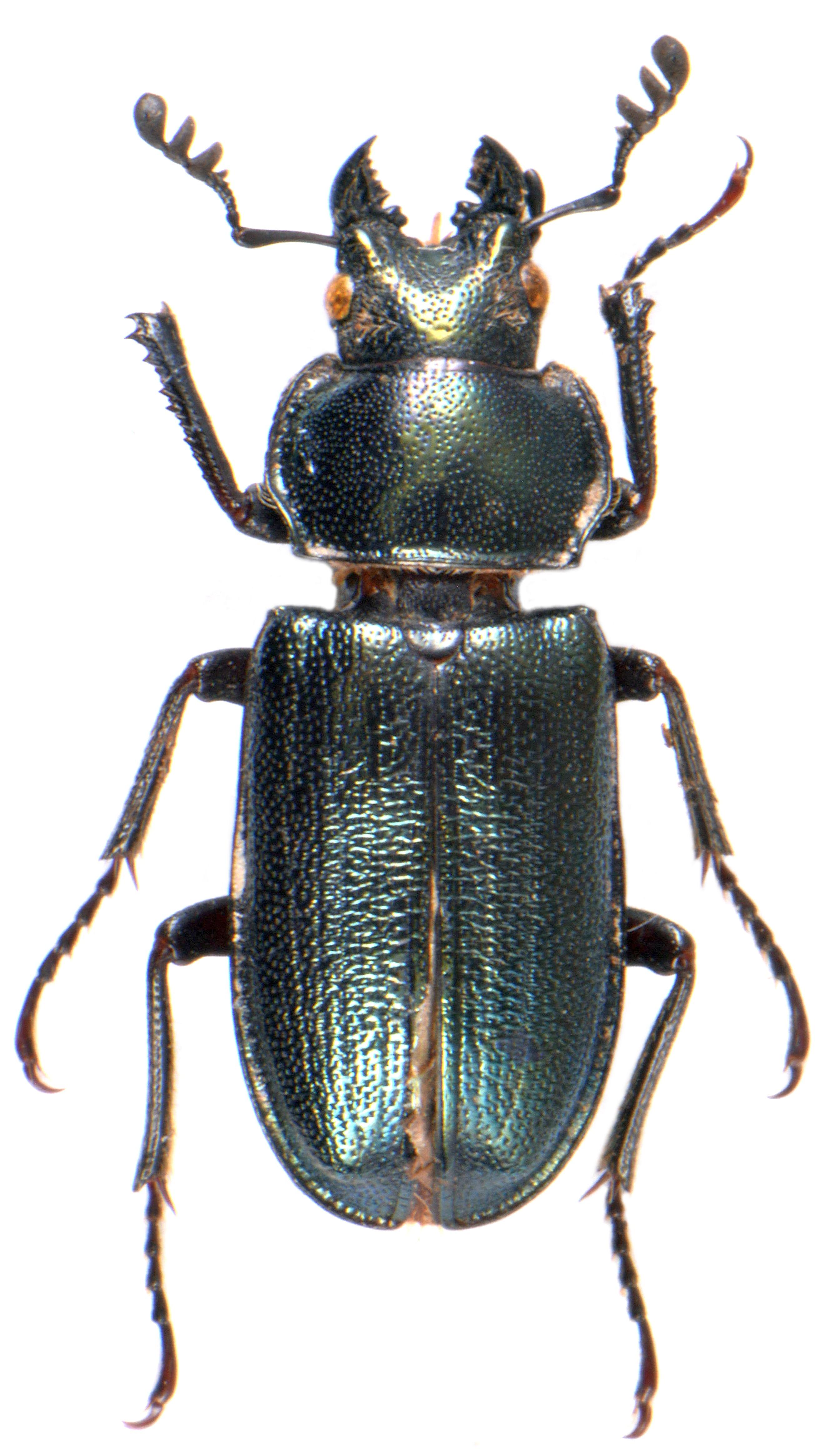 Platycerus caraboides ♂