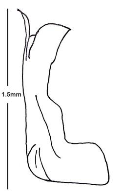 Aedeagus lateral view