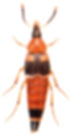 Lordithon lunulatus 1.jpg