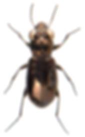 Notiophilus aquaticus 1.jpg