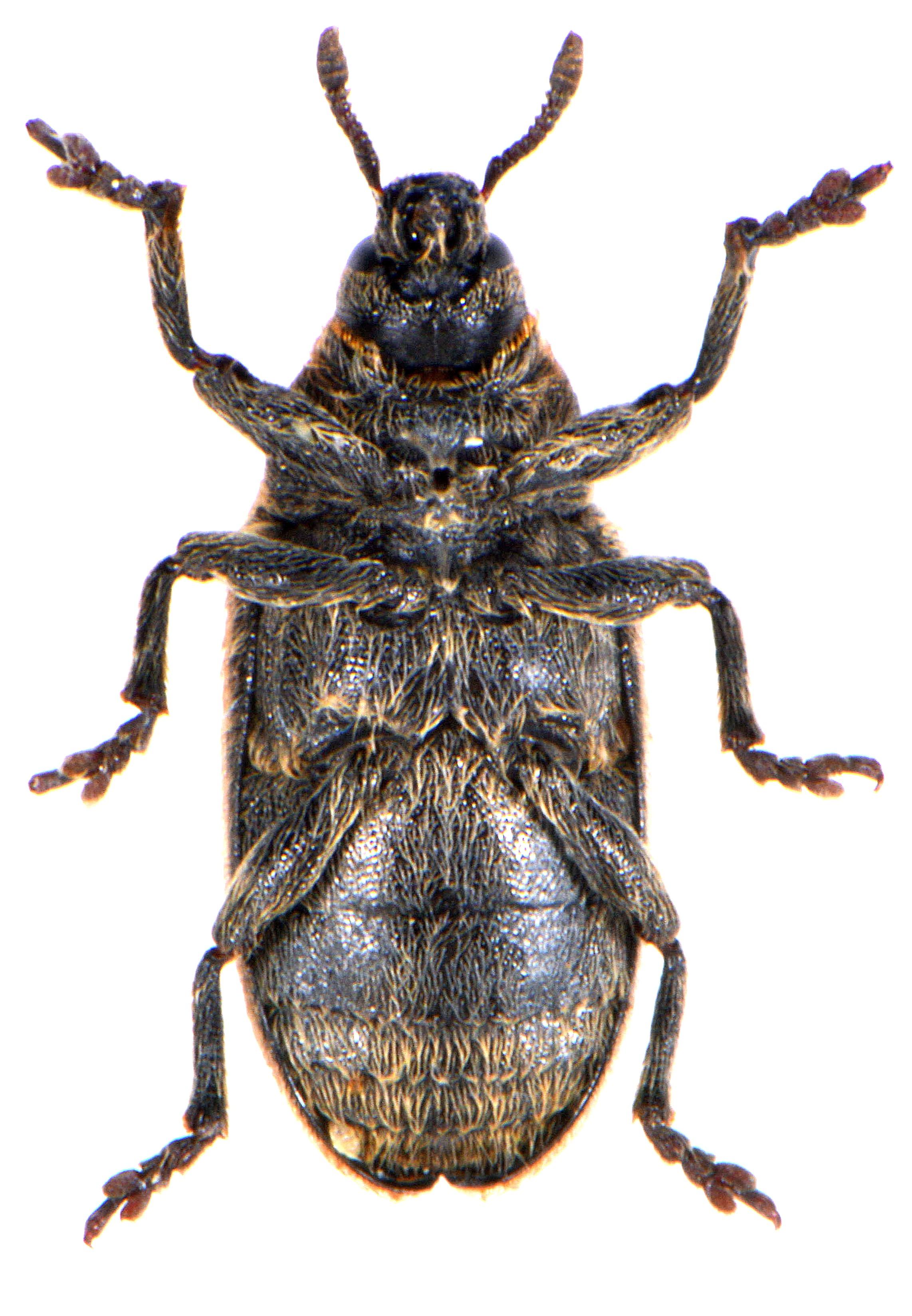 Rhinocyllus conicus 4