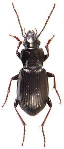Pterostichus oblongopunctatus 2.jpg