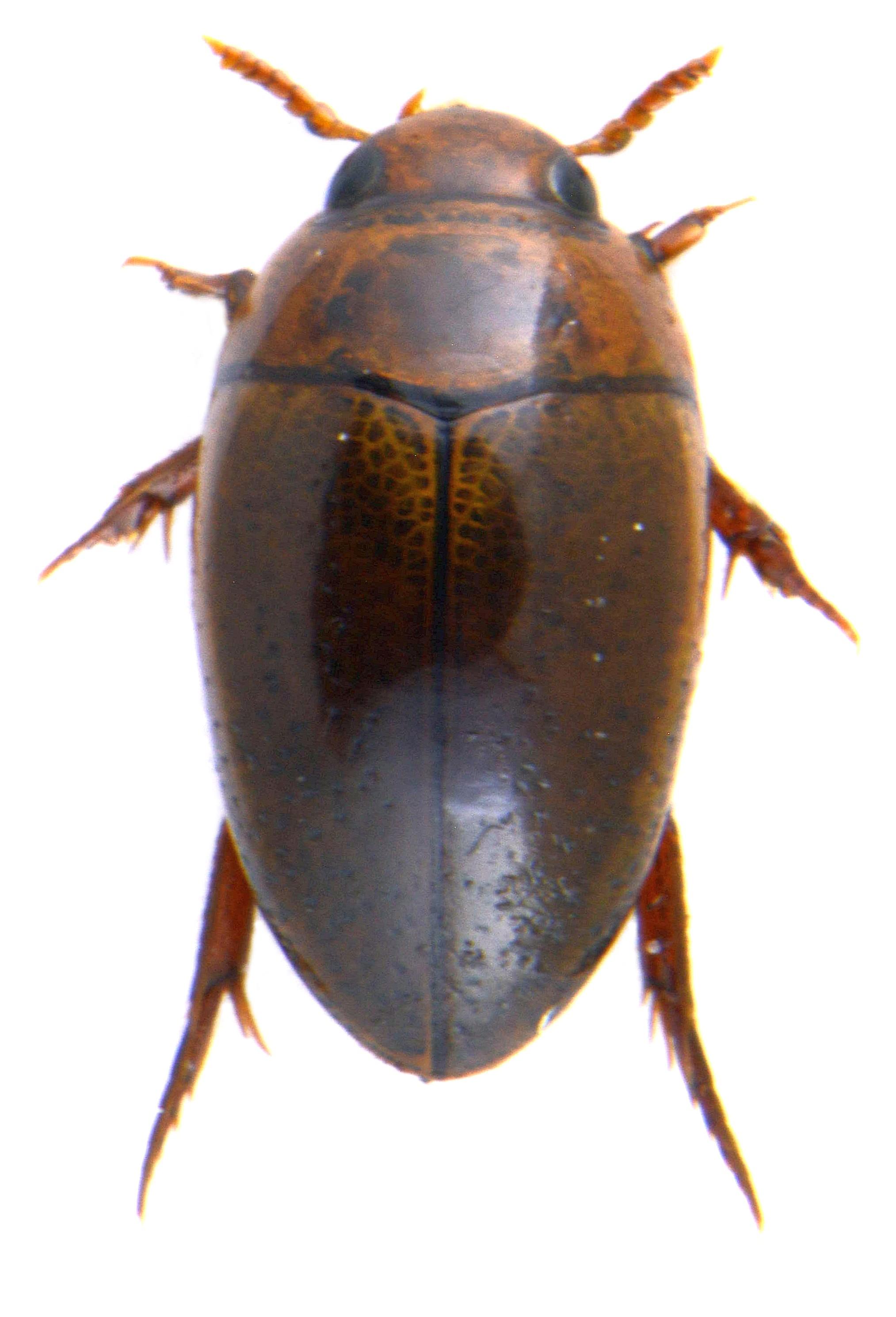 Noterus clavicornis ♂