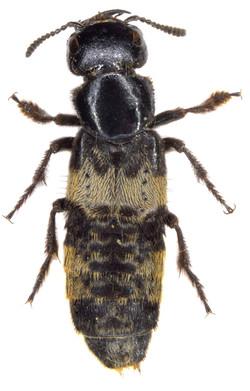 Creophilus maxilosus ♂