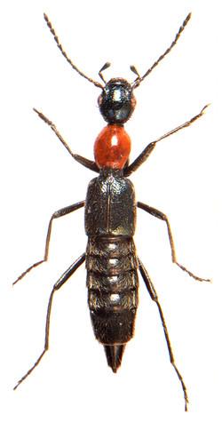 Paederidus ruficollis 1