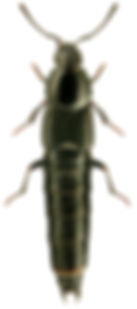 Acylophorus glaberrimus.jpg