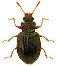 Latridius porcatus.jpg