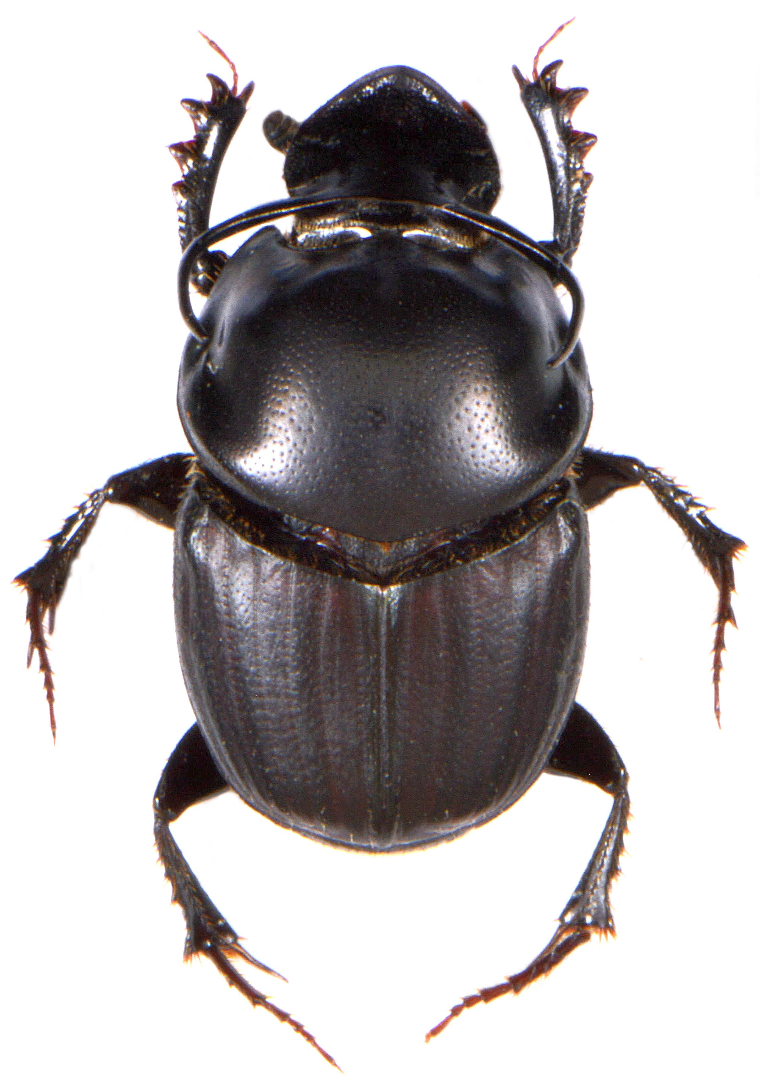 Onthophagus taurus 1