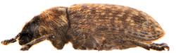 Rhinocyllus conicus 5