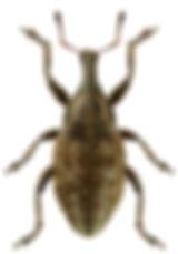 Lepyrus capucinus.jpg
