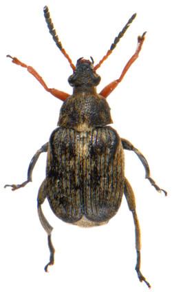Bruchus rufimannus