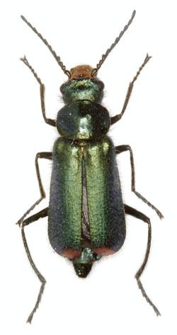 Clanoptilus strangulatus