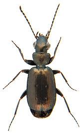 Syntomus foveatus.jpg