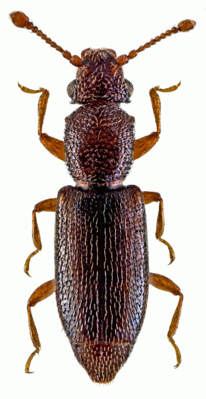 Monotoma longicollis 2