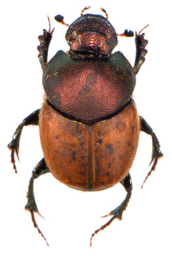 Onthophagus coenobita 2