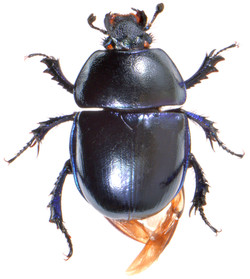 Trypocopris vernalis 2