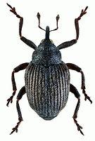 amalorrhynchus_melanarius_1.jpg