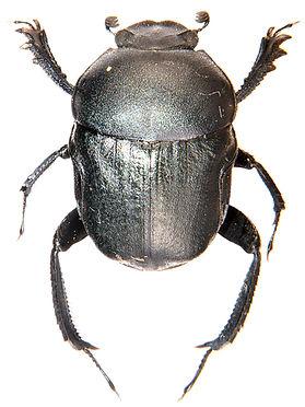 Gymnopleurus geoffroyi.jpg