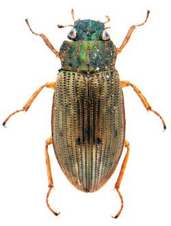 Helophorus aequalis 1