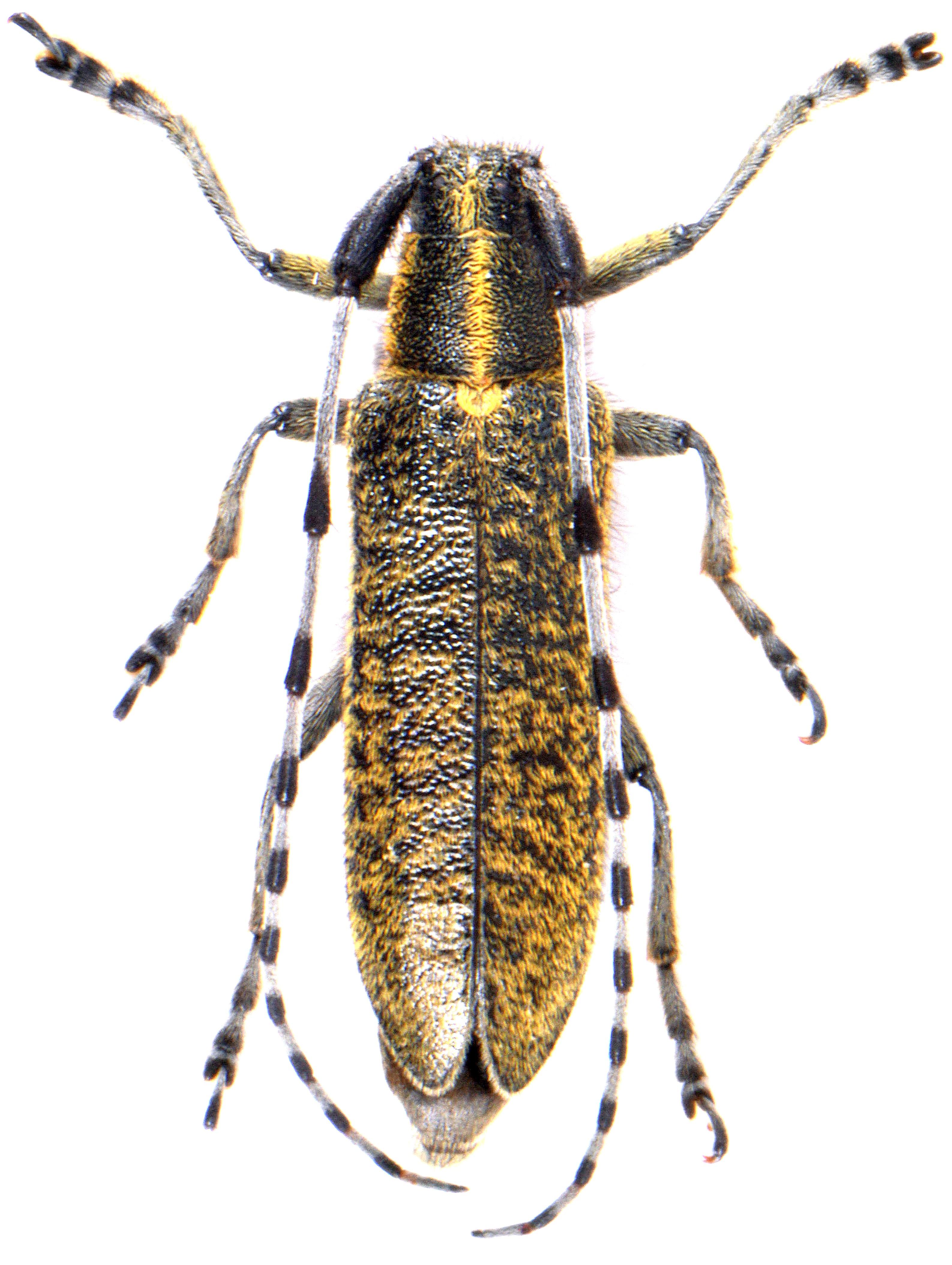 Agapanthia villosoviridescens 3