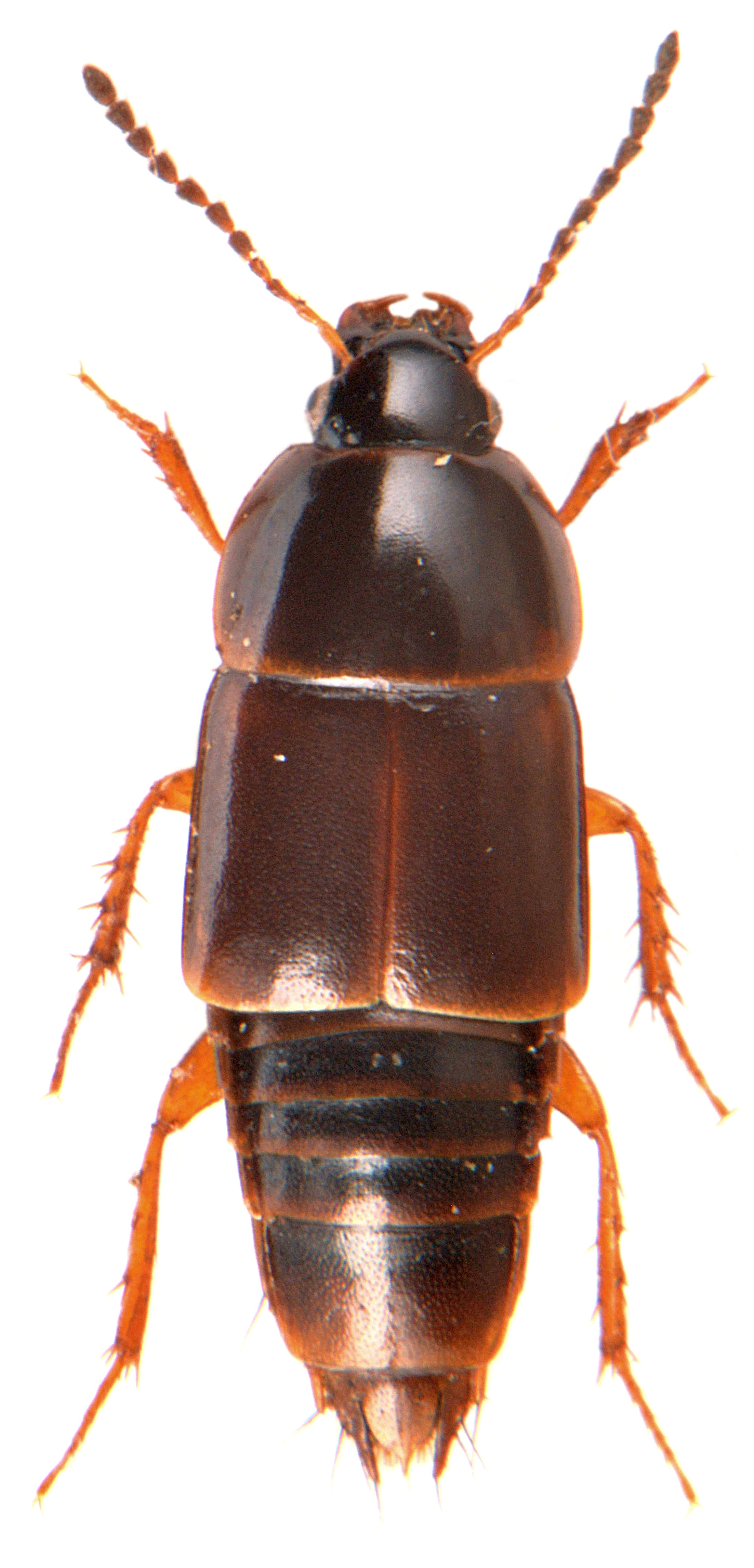 Tachinus rufipes 2
