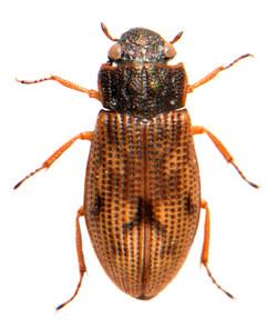 Helophorus brevipalpis 2