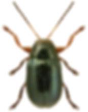 Cryptocephalus punctiger.jpg