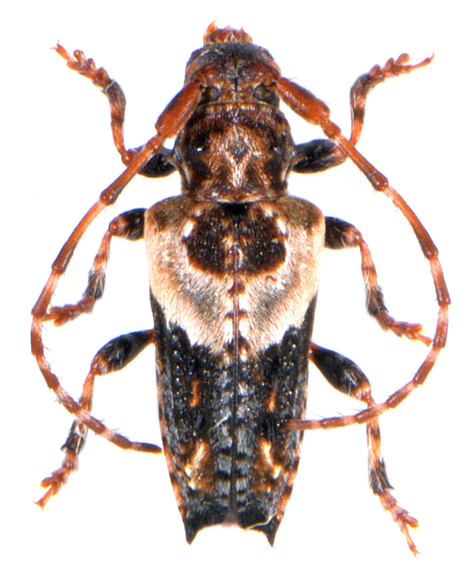 Pogonocherus hispidus 2