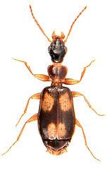 Calodromius spilotus 1.jpg