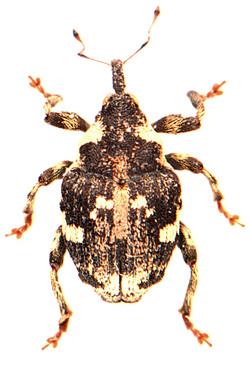 Hadroplontus trimaculatus 3