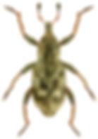 Hygronomus alismatis.jpg