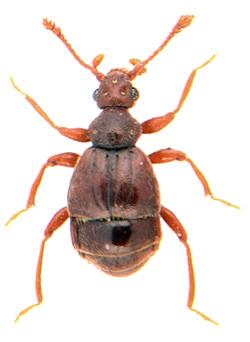 Bryaxis bulbifer