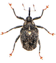 Ceutorhynchus pallidactylus 1.jpg