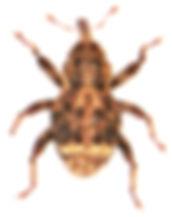 Acalles misellus.jpg
