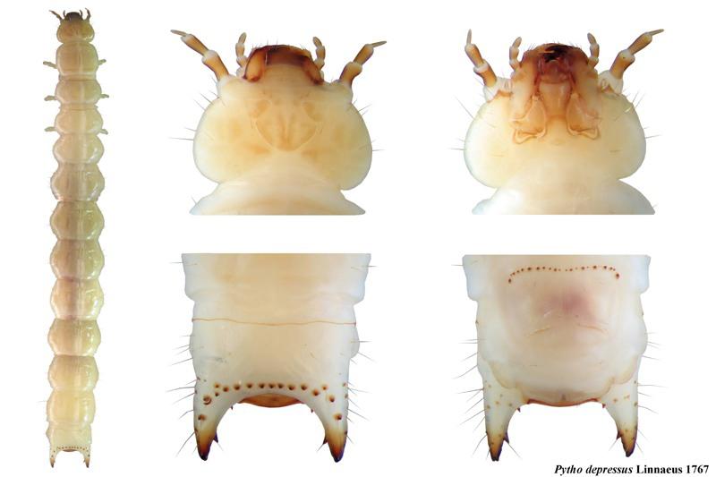 Pytho depressus larva