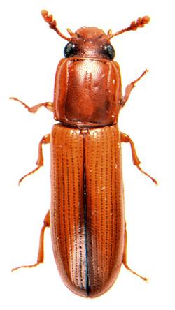 Aulonium trisulcus