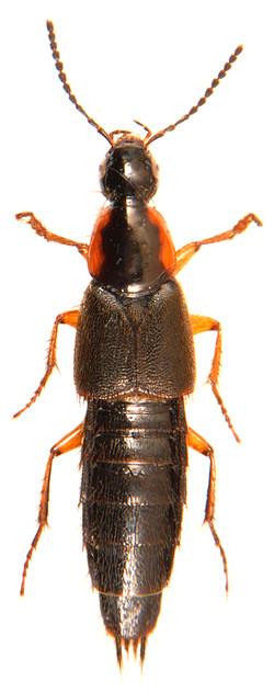 Philonthus marginatus