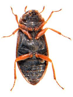 Helophorus brevipalpis 3