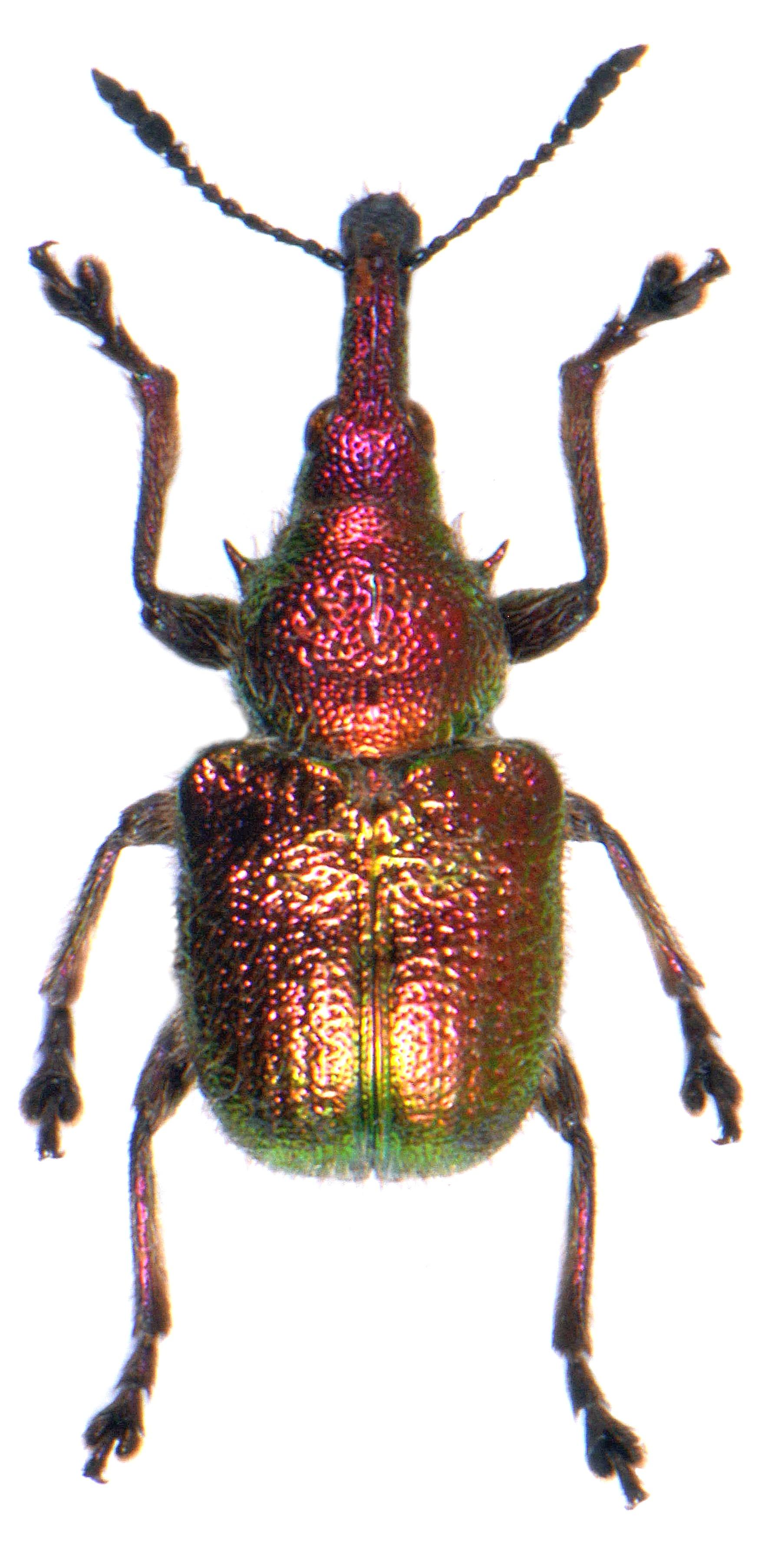 Rhynchites auratus