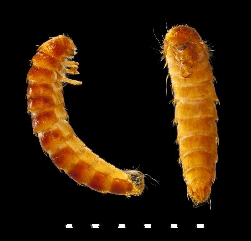 Attagenus pellio larva